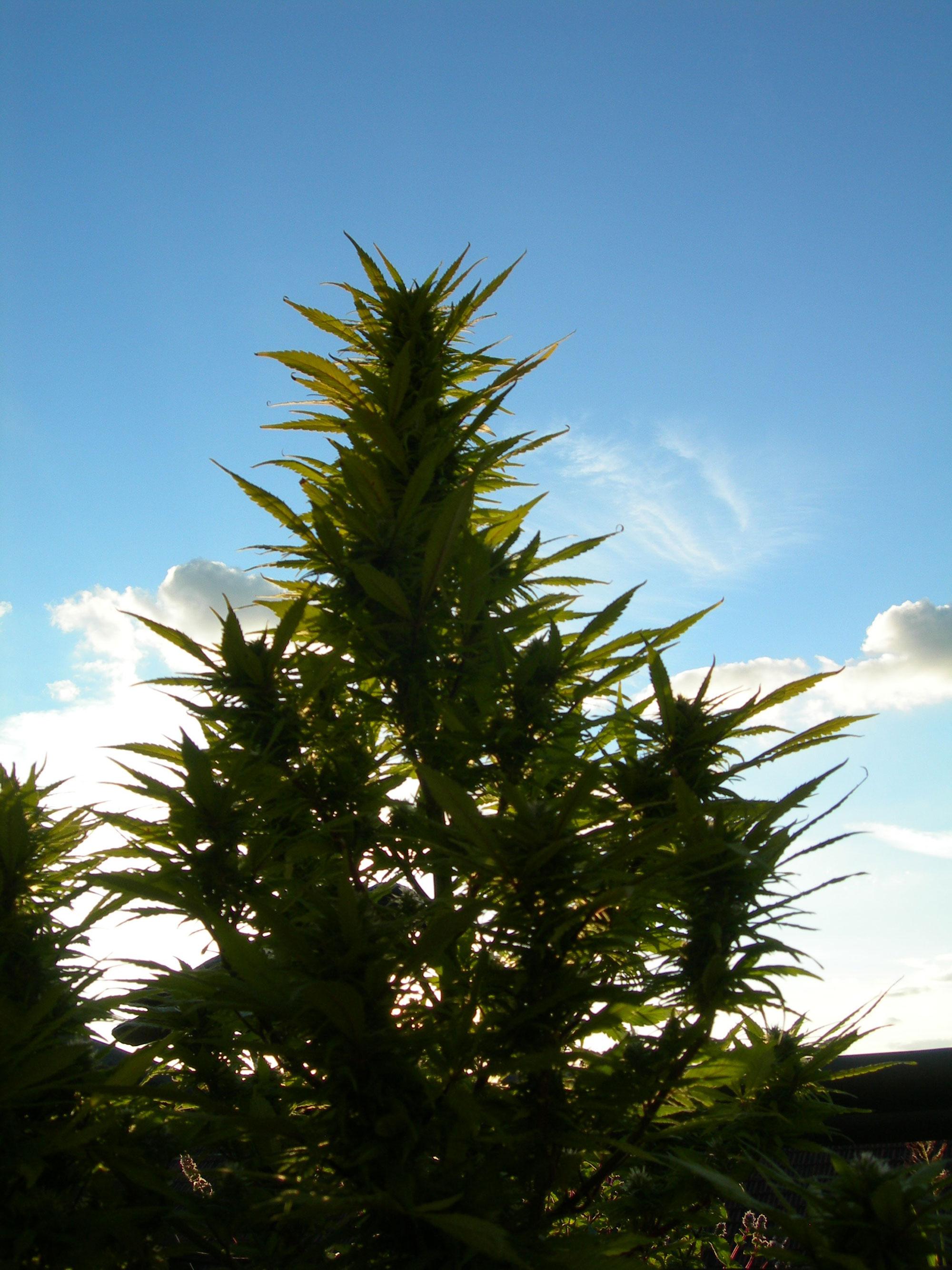 Cannabis-auf-Lanzarote-001
