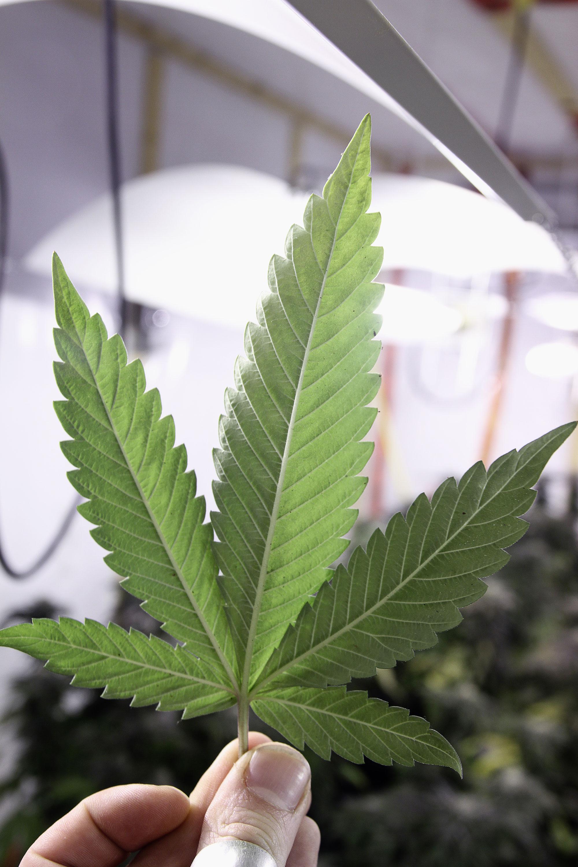 Cannabis-001