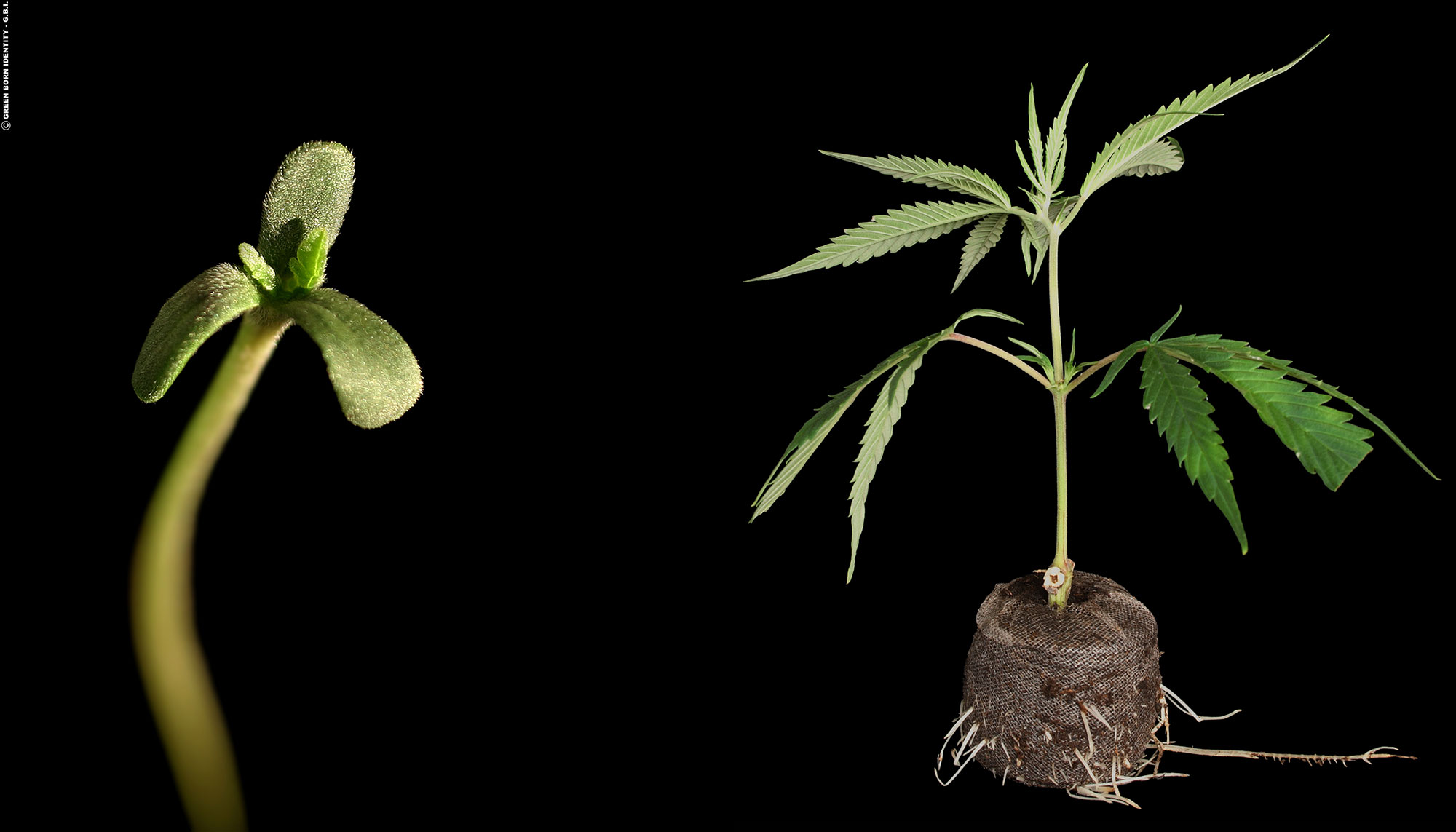 seeds-vs-clones