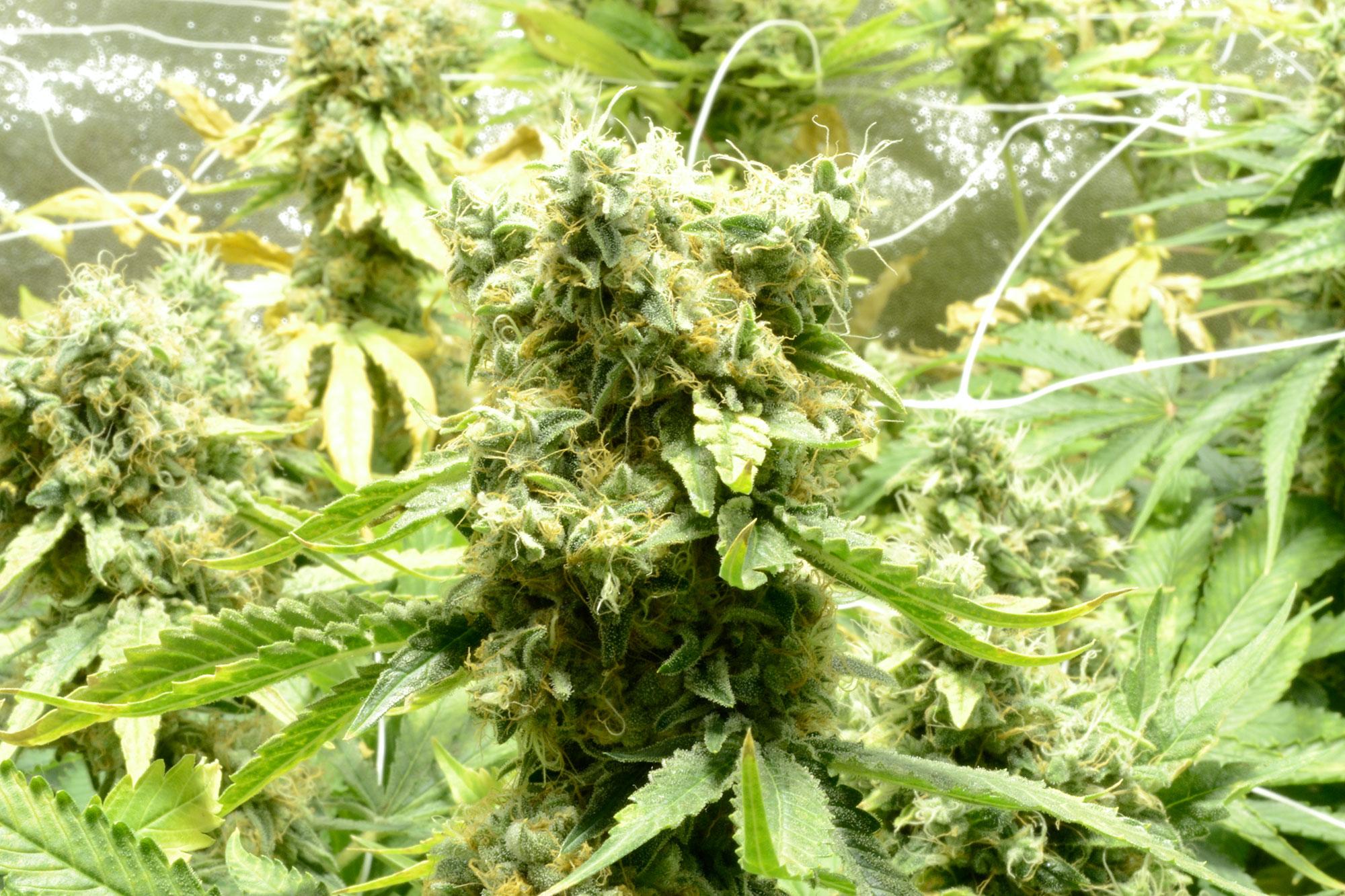 Cannabis-als-Selbsttherapie-(01)