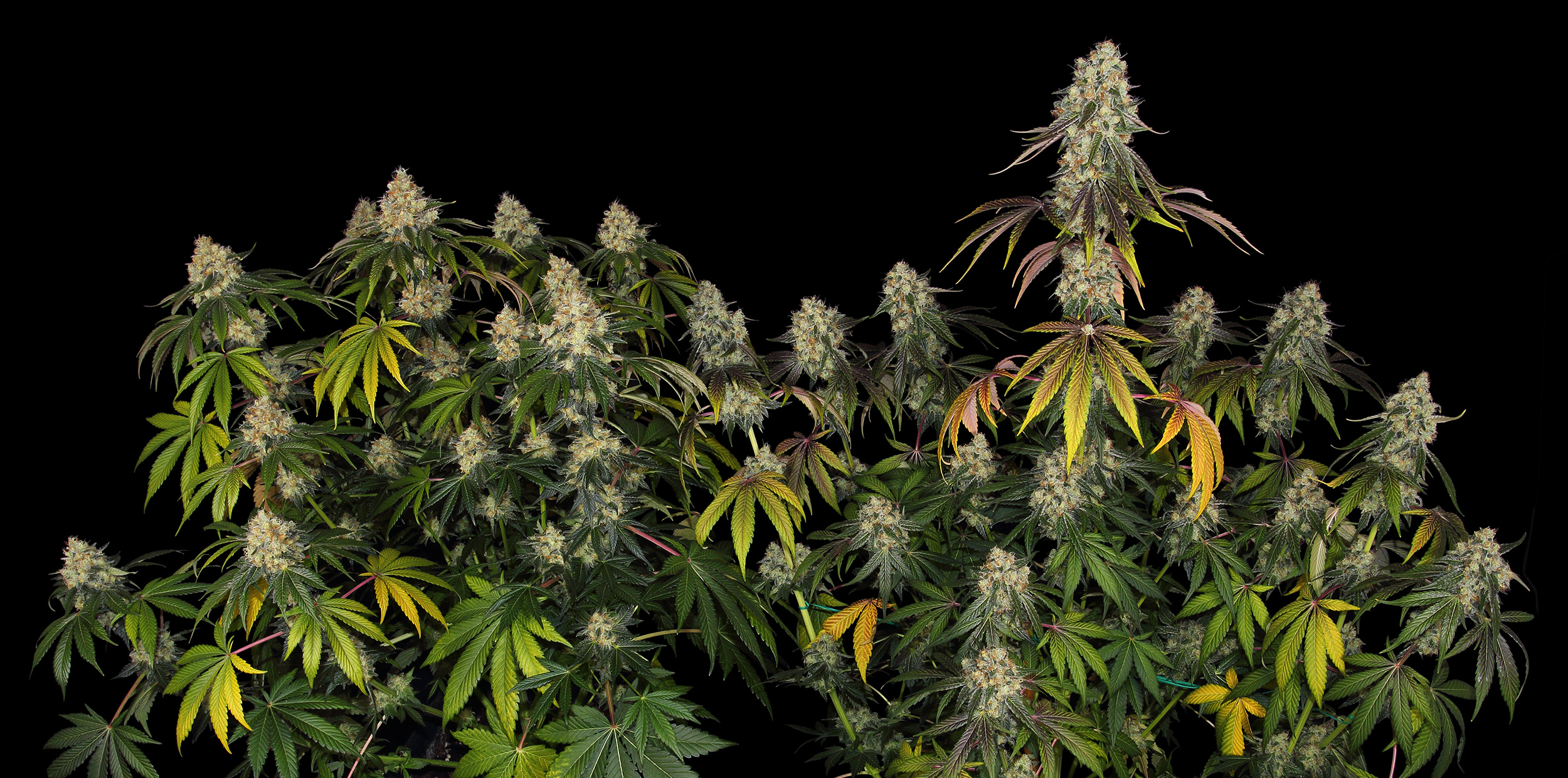 French-Cookies-TH-Seeds