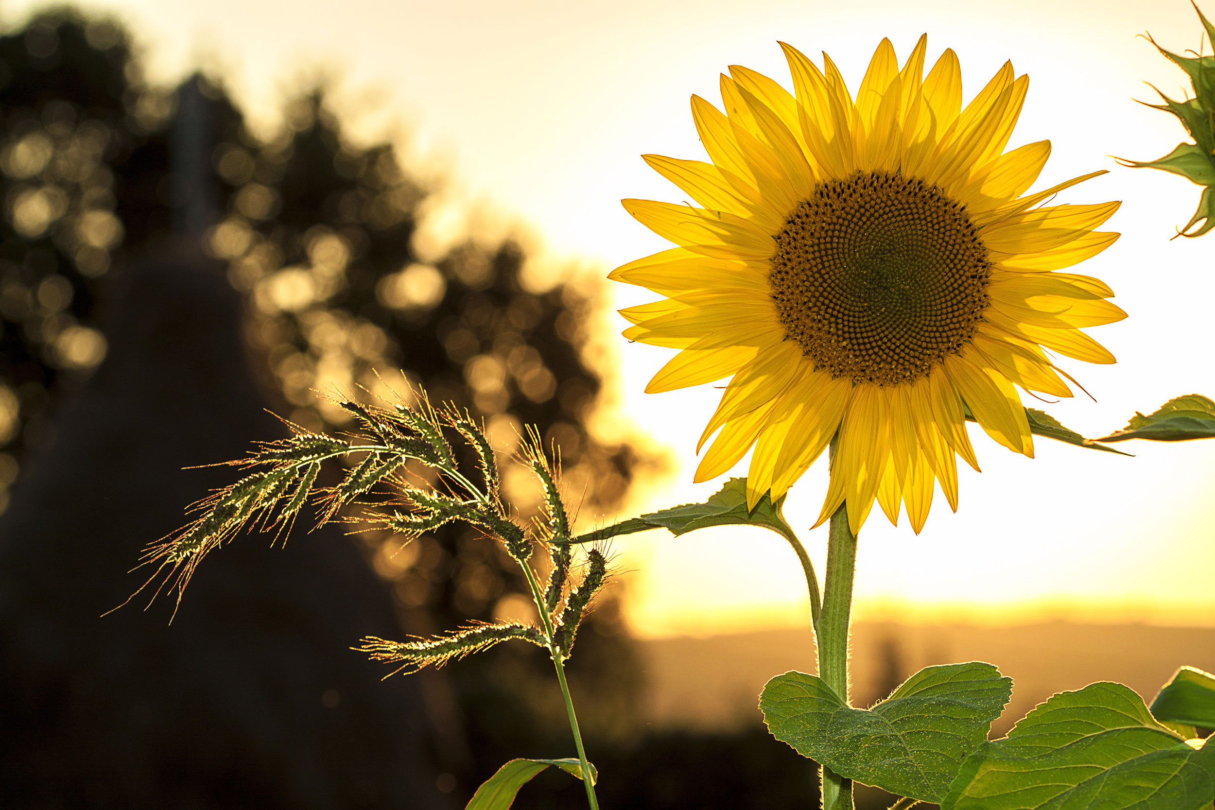 Pflanzen-der-Sonne-Sonnenblume