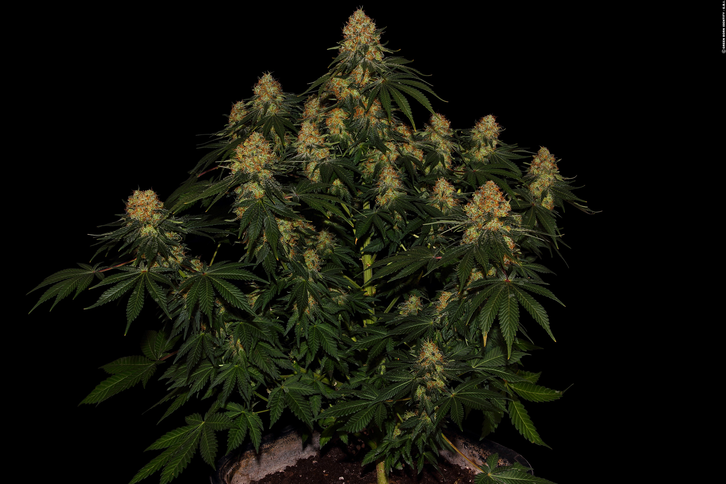 California-Gold-Paradise-Seeds
