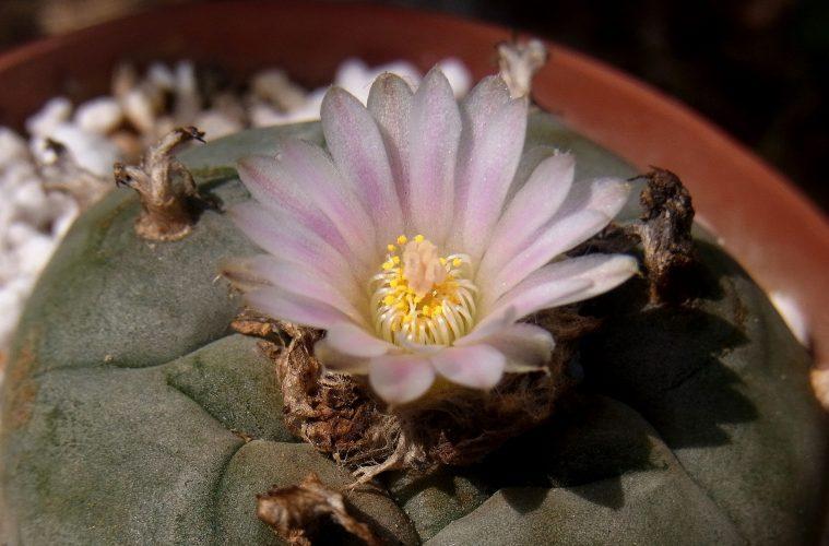 Die Anzucht und Pflege des Peyote-Kaktus