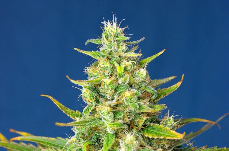 Sortenporträt: Sweet Pure Auto CBD von Sweet Seeds