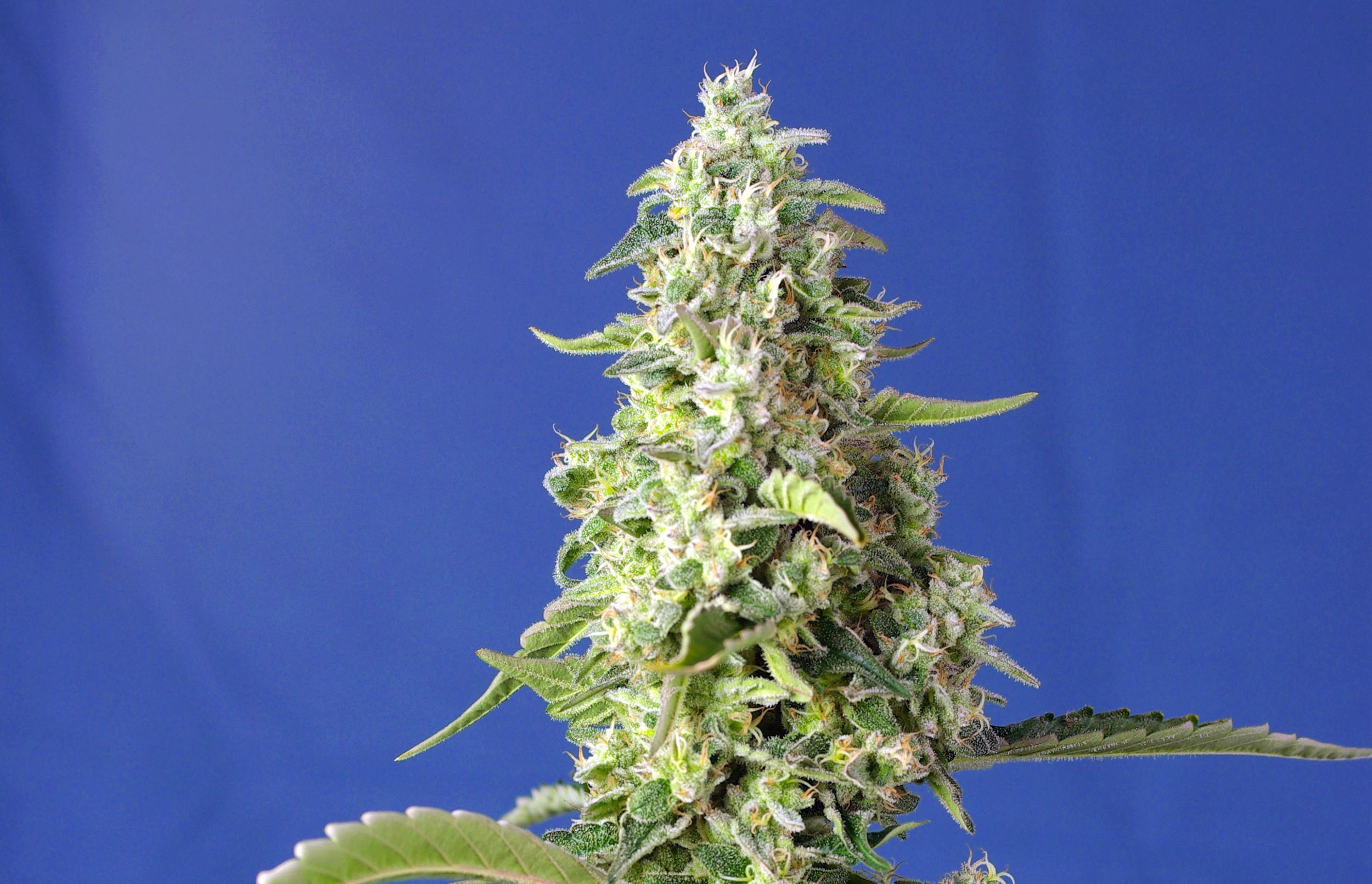 Superstarke US-Genetiken, XL-Autoflowering und neue CBD-Sorten von Sweet Seeds