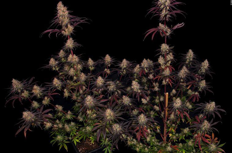 Ayahuasca Purple - The Doc's extravaganteste Indica aller Zeiten-Purple_Barneys-Farm_GBI_01_21_01_2021