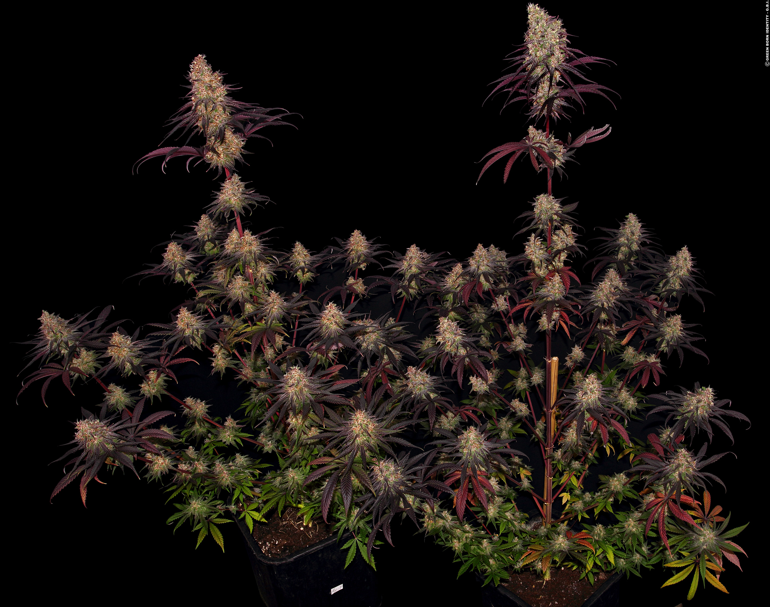 Ayahuasca Purple - The Doc's extravaganteste Indica aller Zeiten-Purple_Barneys-Farm_GBI_01_21_01_2021