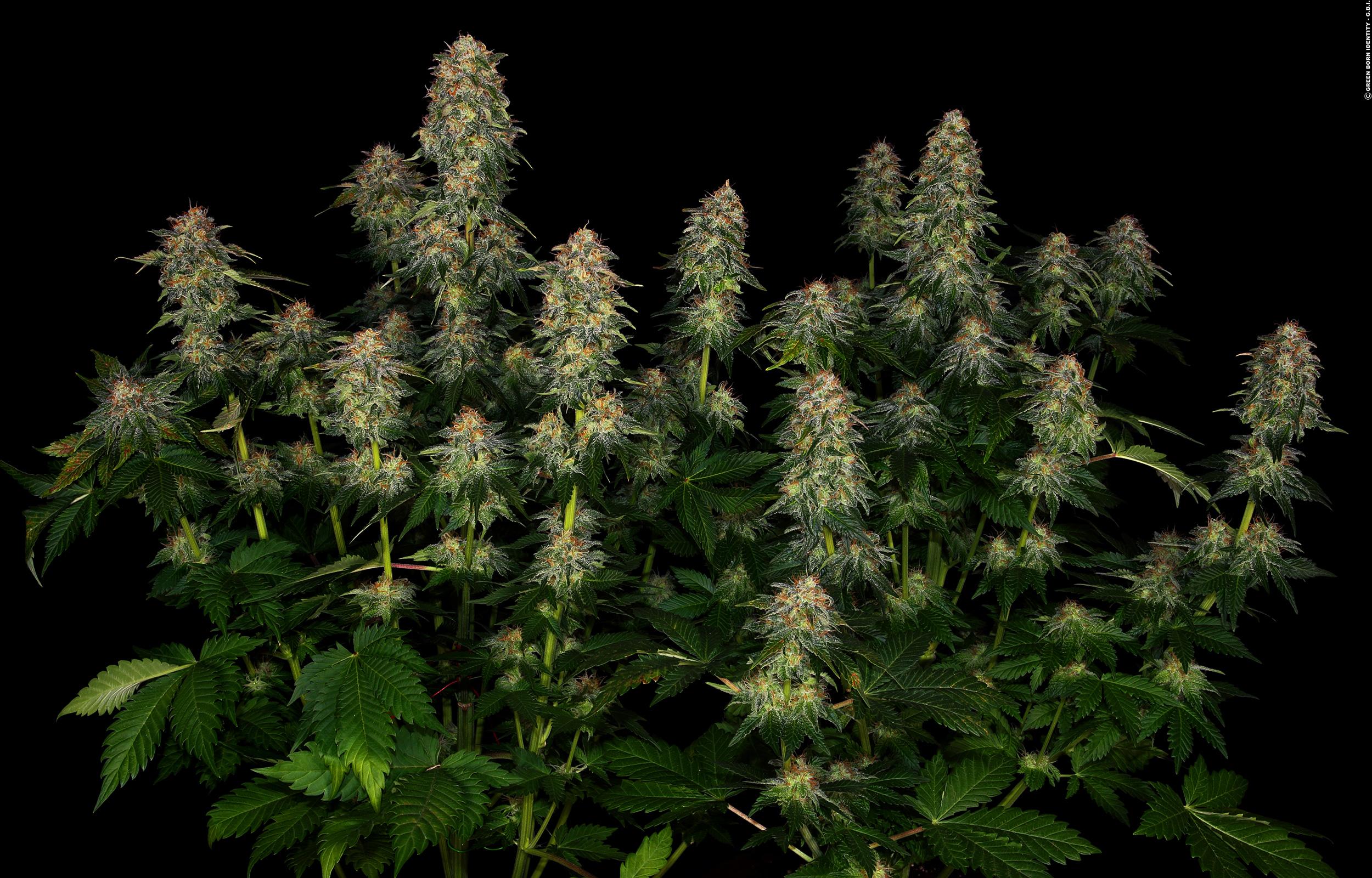 Moby Dick - Volle Breitseite vom Cannabismonster