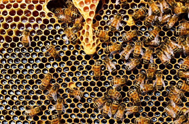 High on Honey - Über psychoaktiven Honig und die Bedeutung der Bienen für den Menschen