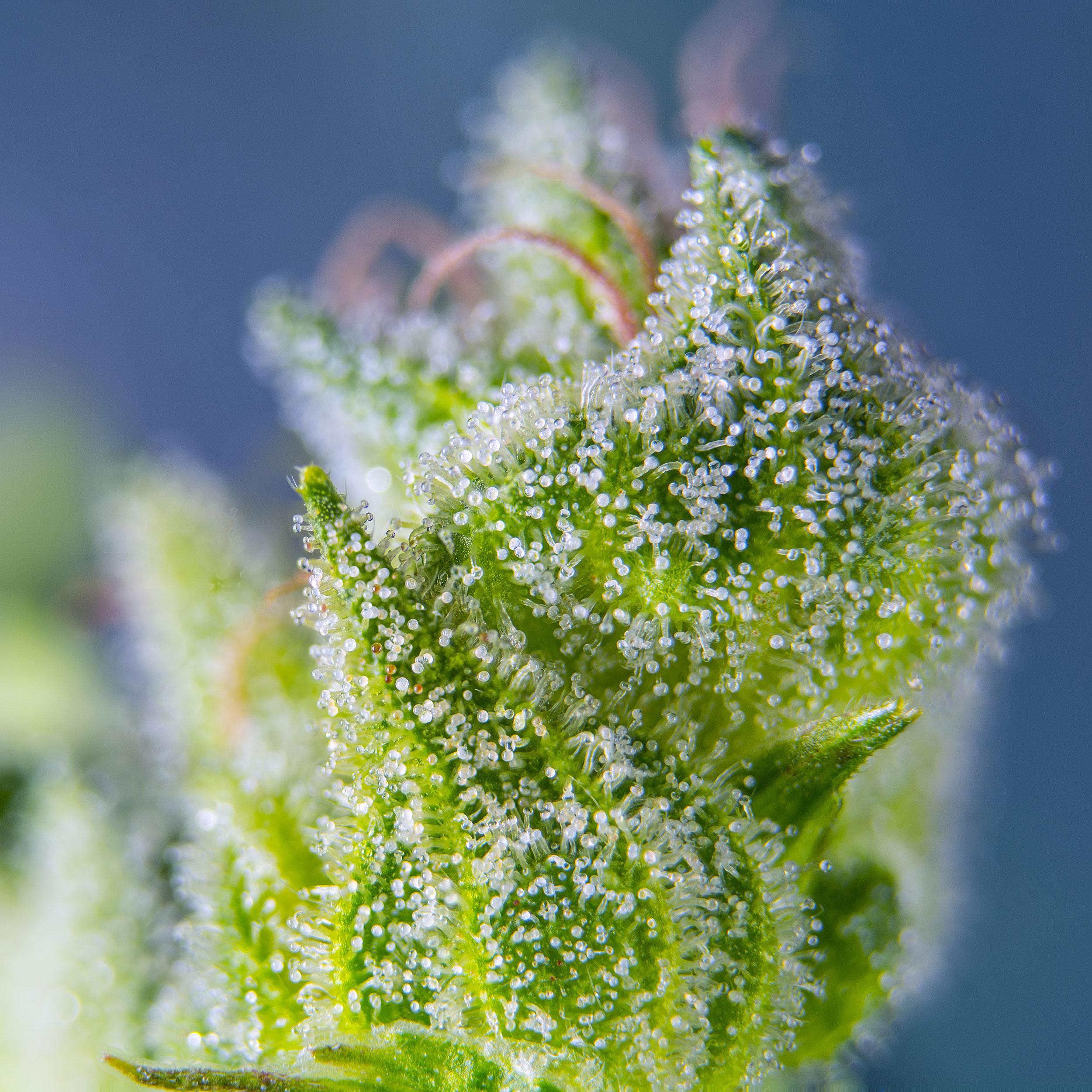 Neue XL-Sorten von Sweet Seeds - Auf die Größe kommt es an